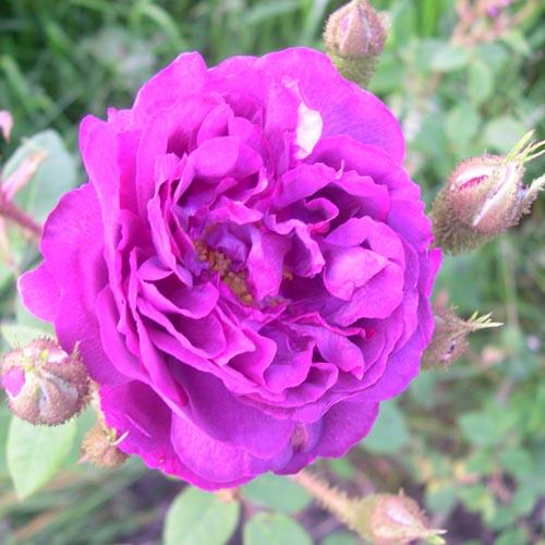 rosa centifolia plants