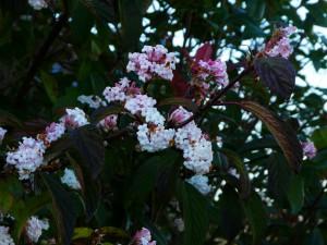 Viburnum Bodnantens Dawn