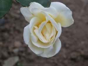 Rose Pax Flower