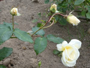 Rose Pax stem