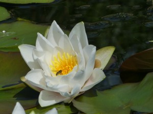 Waterlilies (15)