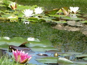 Photograph of Waterlilies