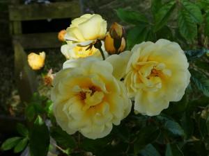 Rose Callisto