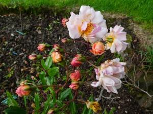 Rose Clytemnestra
