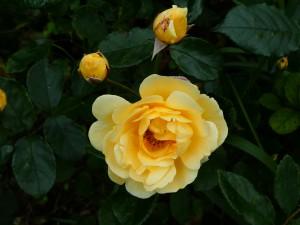 Rose Danae