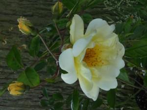Rose Daybreak