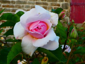 Rose Felicia