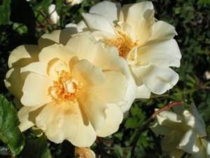 Rose Francesca