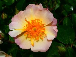Rose Kathleen