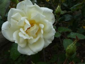 Rose Pax