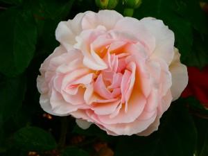 Rose Penelope