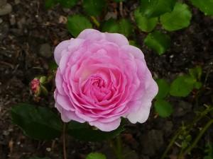 Rose Pink Prosperity