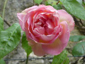 Rose Souvenir de Madame Leonie Viennot