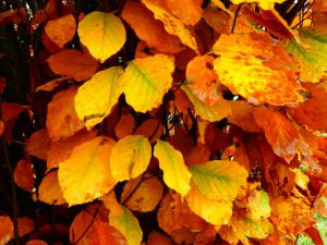 Dawyck Beech leaves