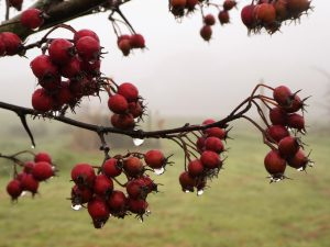 crataegus berries