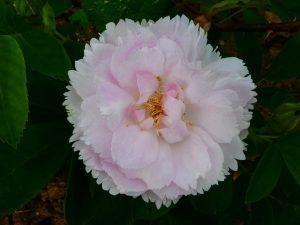Rose Fimbriata