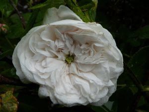 Rose Madame Hardy