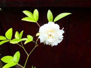 Rose - banksiae banksiae