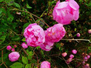 Rose macrantha raubritter
