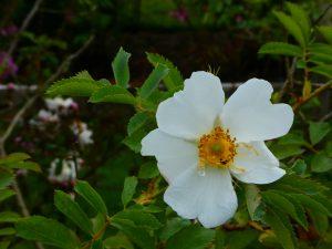 Rose fedtschenkoana